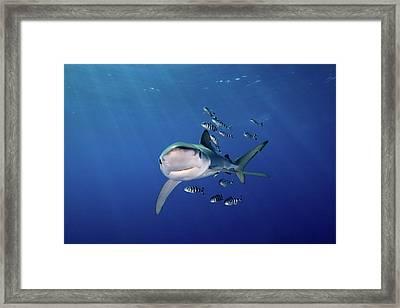 Blue Shark With Pilot Pish Framed Print by James R.D. Scott