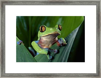 Blue-sided Leaf Frog Agalychnis Annae Framed Print by Michael & Patricia Fogden