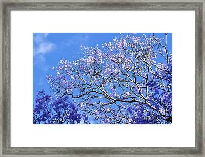 Blue Sky And Jacaranda Blossoms Framed Print by Kaye Menner