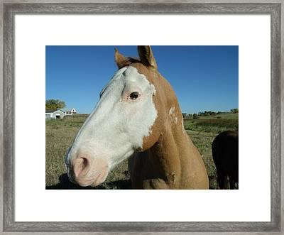 Blue Sky Palomino  Framed Print by Brian  Maloney