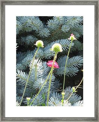 Blue Spruce And A Wish Framed Print by Shawn Hughes