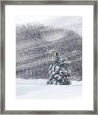 Blue Spruce Framed Print by Robin-Lee Vieira