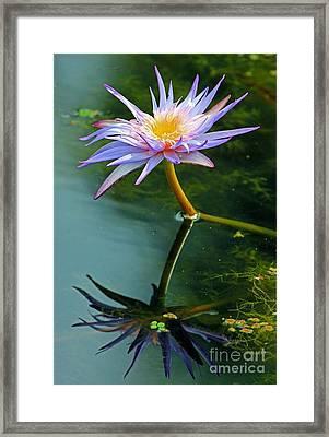 Blue Stargazer Lily Framed Print by Larry Nieland