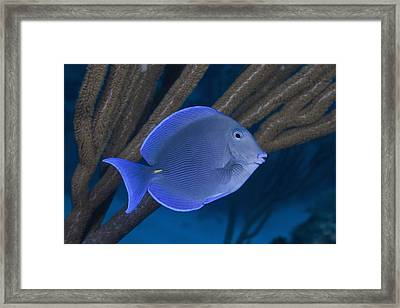 Blue Tang (fish) Swimming On Tropical Coral Reef Framed Print