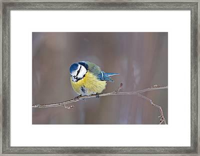 Blue Tit Framed Print by Dmitri Pavlov