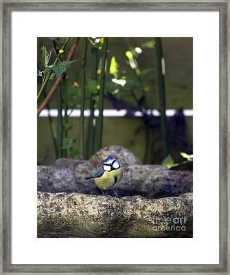 Blue Tit On Bird Bath Framed Print