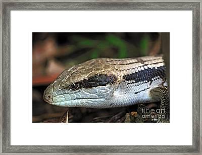 Blue Tongue Lizard Framed Print by Kaye Menner