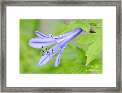 Blue Trumpet Framed Print by David Lade