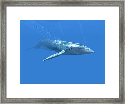 Blue Whale Framed Print by Christian Darkin