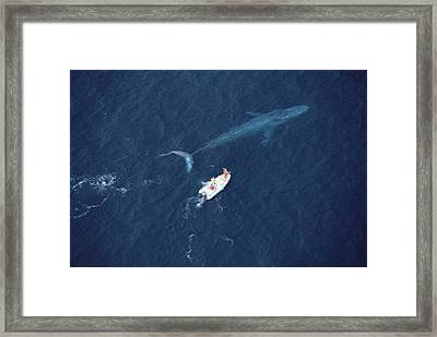 Blue Whale With Research Boat Santa Framed Print by Flip Nicklin