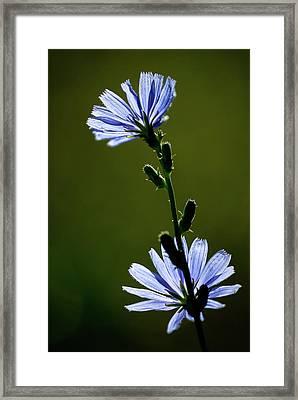 Blue Wildflower Framed Print by  Onyonet  Photo Studios
