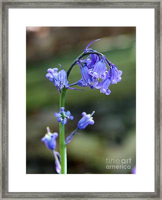Bluebell Framed Print by Jo