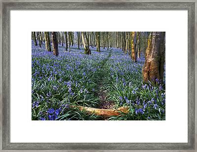Bluebell Path Framed Print by Kris Dutson