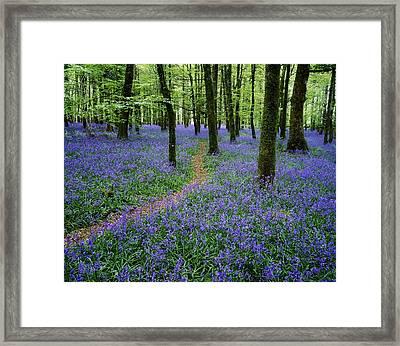 Bluebell Wood, Near Boyle, Co Framed Print