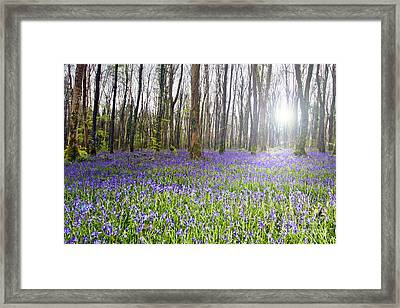 Bluebell Woods Kildare Ireland Framed Print by Catherine MacBride