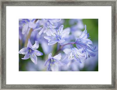 Bluebells Framed Print by Nick Dolding