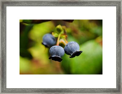 Blueberries Framed Print by Beth Akerman