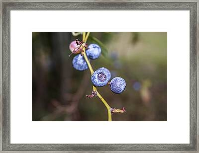 Framed Print featuring the photograph Blueberry by Ester  Rogers
