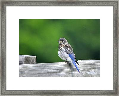 Framed Print featuring the photograph Bluebird Baby by Nava Thompson