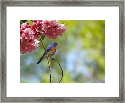Bluebird In Cherry Tree Framed Print