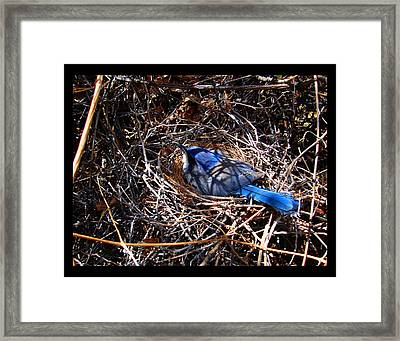 Framed Print featuring the photograph Bluebird In Her Nest by Susanne Still