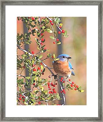 Bluebird In Yaupon Holly Tree Framed Print
