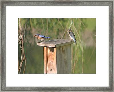 Bluebird Snack Time Framed Print
