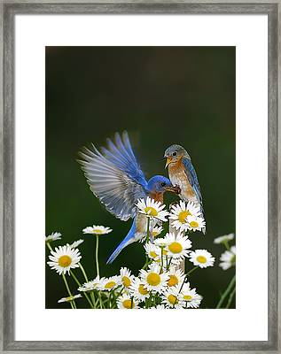 Framed Print featuring the photograph Bluebirds Picnicking In The Daisies by Randall Branham