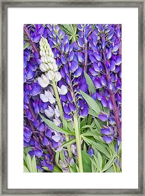 Bluebonnet Lupine Floral Background Framed Print by Aleksandr Volkov