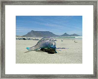 Framed Print featuring the photograph Bluebottle by Werner Lehmann