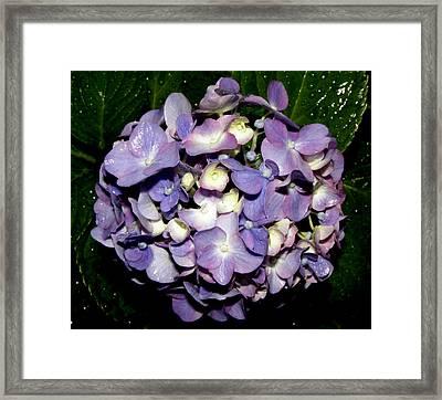 Blueish Purple Hydrangea At Nighfall Framed Print by Kim Galluzzo Wozniak