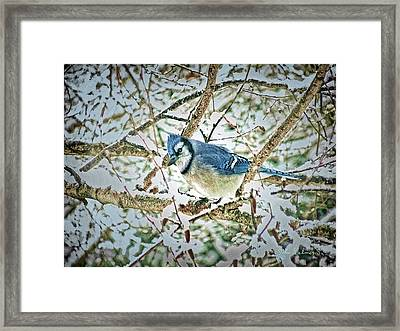 Bluejay In Birches Framed Print