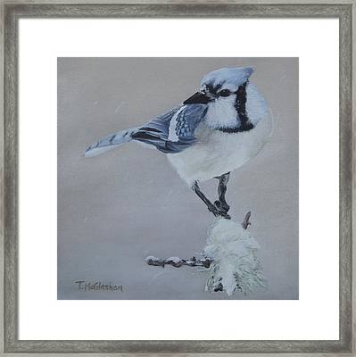 Bluejay In Winter Framed Print by Traci McGlashan