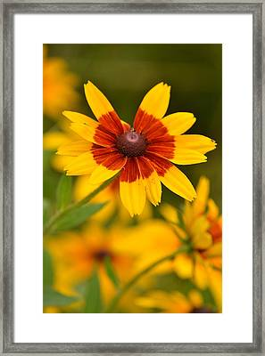 Framed Print featuring the photograph Blush-eyed Susan by JD Grimes