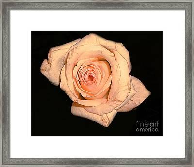 Blush Rose 2 Framed Print by Merton Allen