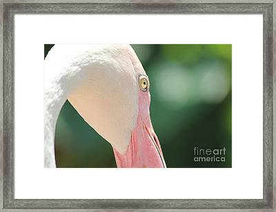 Framed Print featuring the photograph Blushing Flamingo by Nola Lee Kelsey
