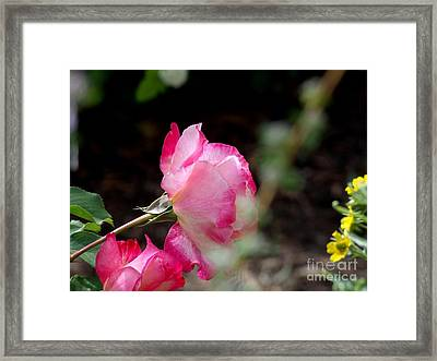 Blushing Pink Beauties Framed Print by Donna Parlow