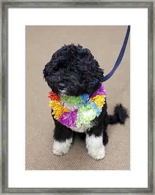 Bo The Obama Family Dog Wearing Framed Print by Everett