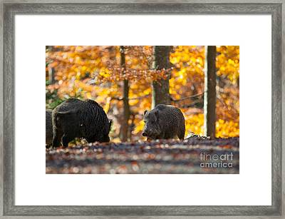 Boar Framed Print by Davide Marzotto