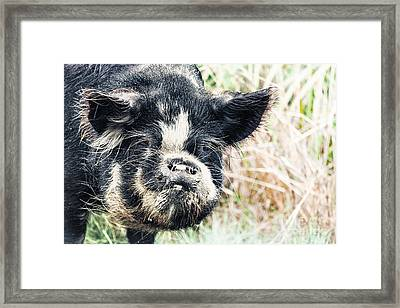 Boar Framed Print by MotHaiBaPhoto Prints