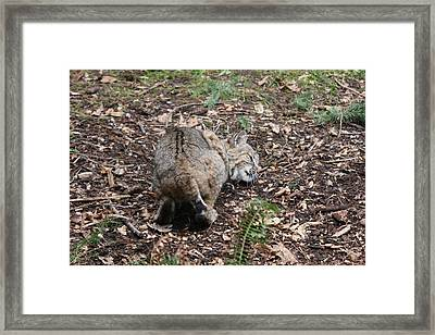 Framed Print featuring the photograph Bobcat - 0014 by S and S Photo