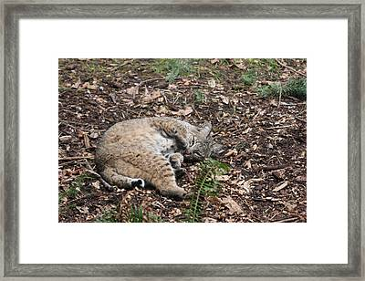 Framed Print featuring the photograph Bobcat - 0016 by S and S Photo