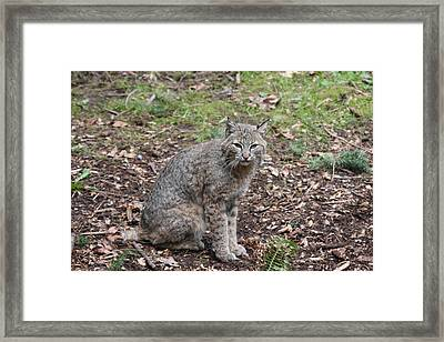 Framed Print featuring the photograph Bobcat - 0017 by S and S Photo