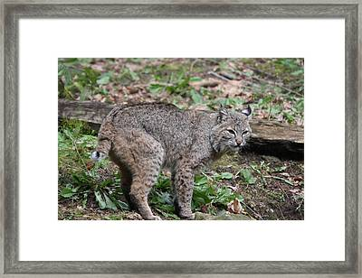 Framed Print featuring the photograph Bobcat - 0019 by S and S Photo