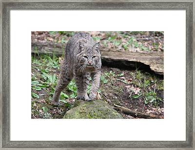 Framed Print featuring the photograph Bobcat - 0020 by S and S Photo