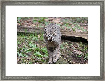 Framed Print featuring the photograph Bobcat - 0021 by S and S Photo