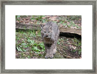 Framed Print featuring the photograph Bobcat - 0022 by S and S Photo