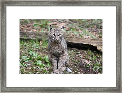 Framed Print featuring the photograph Bobcat - 0024 by S and S Photo