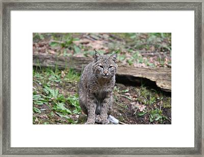 Framed Print featuring the photograph Bobcat - 0026 by S and S Photo
