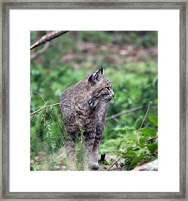 Framed Print featuring the photograph Bobcat - 0027 by S and S Photo